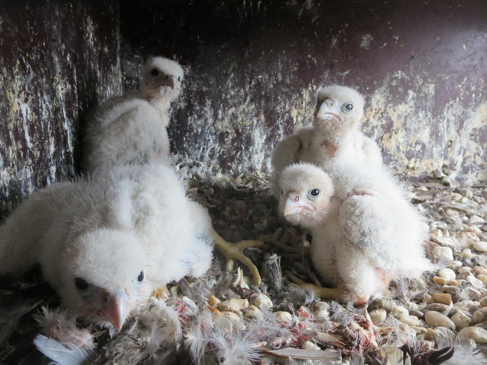 Live  dabei per Webcam: Die Falken im Dom sind geschlüpft