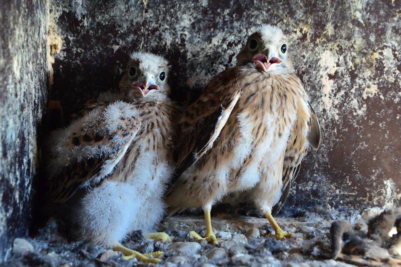 Nachwuchs im Domturm :  Fünf kleine Falken geschlüpft (Webcam!)